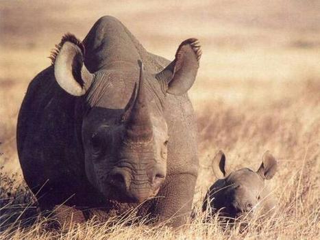 Twitter / NatGeoPaisajes: Rinoceronte negro, adiós: ... | RECURSOS NATURALES | Scoop.it