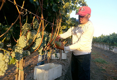 California Wine Grape Haul Estimated at 4 Million Tons | Autour du vin | Scoop.it