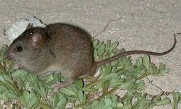 Revealed: first mammal species wiped out by human-induced climate change | Environmental issues | Scoop.it