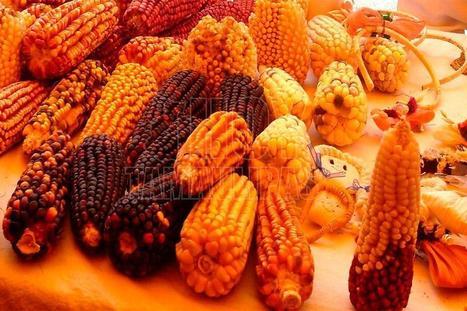 Mexico: Anuncian feria de maíz en una de las últimas zonas rurales capitalinas | Maíz | Scoop.it