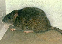 Rodent Control Toront | Rats & Mice Removal Services Vaughan | Pest Control | Scoop.it