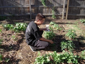 Summer ripening in school gardens - Education News Colorado | School Kitchen Gardens | Scoop.it