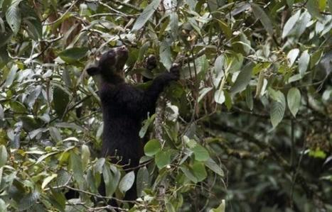 Colombie: un deuxième ours andin tué dans un parc naturel | Biodiversité | Scoop.it