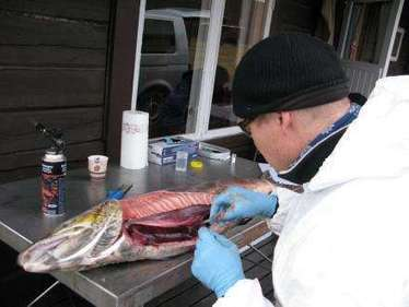 Transmission of new virus believed to occur between farmed and wild fish   Aquatic Viruses   Scoop.it