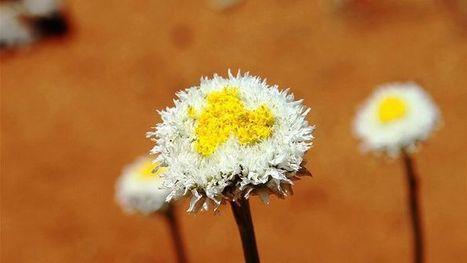 Take a walk in the wildflowers - Alice Springs | Australian Plants on the Web | Scoop.it