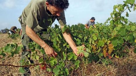 Les vendanges emploient 300.000 saisonniers chaque année - Le Figaro | ANEFA | Scoop.it