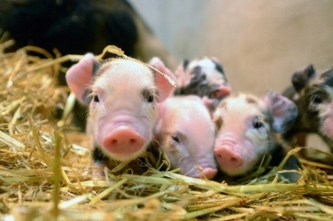 Pigs Shot In Head To Study Blood Spatter, Animal Rights Groups Outraged - News Every day | Animals R Us | Scoop.it