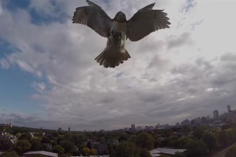 Un faucon attaque un drone en plein vol | Drôles de drones | Scoop.it