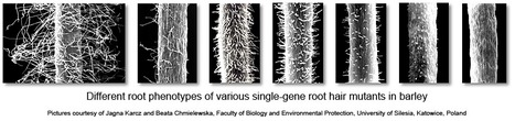 iRootHair - Genomics database of ... root hair information! | Plant Genomics | Scoop.it