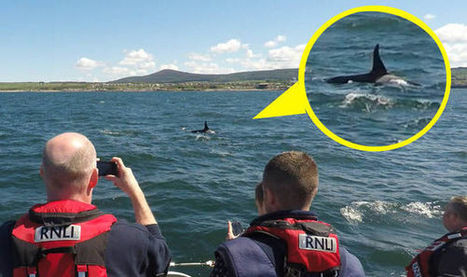 Amazing moment pod of killer whales SPOTTED playing off coast of Scotland - Express.co.uk | My Scotland | Scoop.it