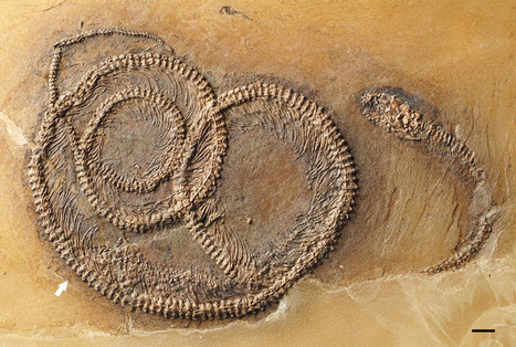 Amazing 'Nesting Doll' Fossil Reveals Bug in Lizard in Snake | Biodiversity protection | Scoop.it