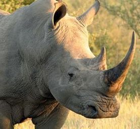 Save Rhinos from Rampant Poaching | GarryRogers Biosphere News | Scoop.it
