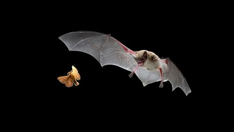 New echo-detecting app could allow humans to 'see' like bats - io9 | Bat Biology and Ecology | Scoop.it