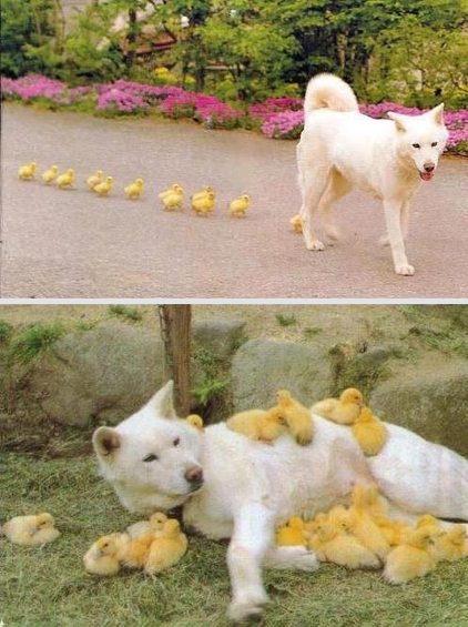 Dog with Ducklings - Cute Animal Pictures | This Gives Me Hope | Scoop.it