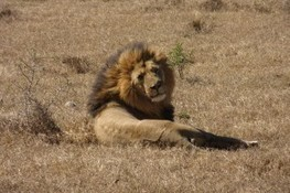 Shut Down Lion Hunting Lottery | Animals R Us | Scoop.it