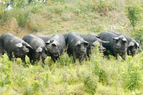 Le porc noir gascon fait son festival à la ferme | Restaurants et produits culinaire toulouse et Gers | Scoop.it