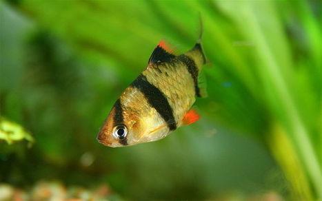 Aqua World: Tiger Barb | Pets | Scoop.it