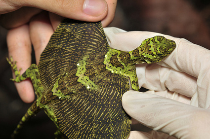 Draco Lizards – Real Live Dragons!   The Wild Side   Draco Lizard   Scoop.it