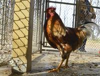NATION: Boom in backyard chickens produces rooster glut | Grandparents Raising Grandkids | Scoop.it
