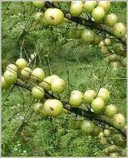 Control Blood Pressure Amla Good for Eye and Hair Growth | We Help You to Live a Healthy Life | Prevention and Health | Scoop.it
