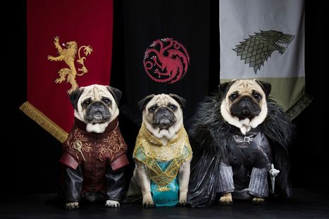 VIDEO: Watch as Game of Thrones is recreated by pug dogs in hilariously cute clip | Smitten Pets | Scoop.it