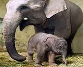 Indonesian elephants found dead, poisoning suspected | Sustain Our Earth | Scoop.it