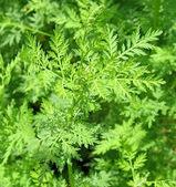 Artemisia Annua - la pianta che distrugge il cancro | Editoria e Comunicazione scientifica | Scoop.it