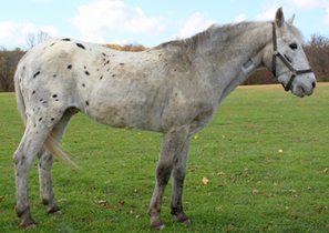 Aged Appaloosa Stallion Saved by New Bolton Center Research Study That Turned Him into a Gelding --Penn Vet Extra | The Jurga Report: Horse Health, Welfare, and Care | Scoop.it