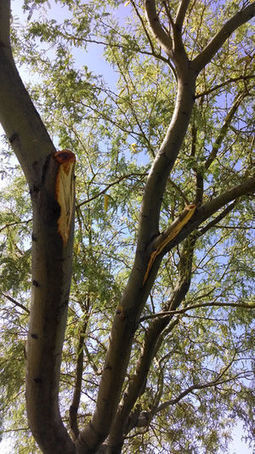 Arizona Gardeners: Follow basic rules of pruning to avoid damaging your trees | Tri-Valley Dispatch (Casa Grande AZ) | CALS in the News | Scoop.it