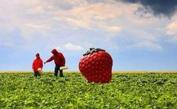 Des pesticides interdits retrouvés dans des fraises — 20minutes.fr | Nature Animals humankind | Scoop.it