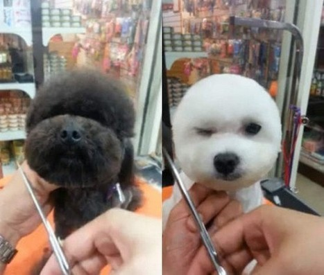 Dogs with Perfectly Square or Round Haircuts Are All the Rage in Taiwan | Strange days indeed... | Scoop.it