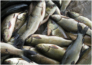 50 PERCENT SUBSIDY ON FISH FARMING IN ALL DISTRICTS OF PUNJAB | Aquaculture Directory | Scoop.it
