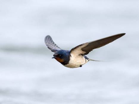 Nature Studies: No swallows to make a summer in a world without birds | kingfishers | Scoop.it