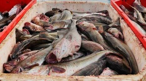 Scientists recommend higher Icelandic cod, haddock TACs - IntraFish.com | Fish World | Scoop.it