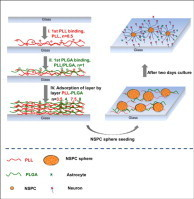 Facilitating neural stem/progenitor cell niche calibration for neural lineage differentiation by polyelectrolyte multilayer films | Tissue regeneration | Scoop.it