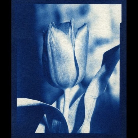 #tulip #closeup #cyanotype #largeformat #darkroom #selfie #blue #film #anlouge #sweden #altprocess #enlargeroptics | L'actualité de l'argentique | Scoop.it