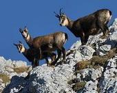 Cause of death established - Chamois had pneumonia | Sustain Our Earth | Scoop.it