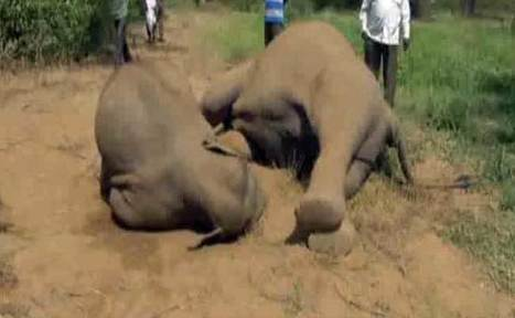 Elephant Dies Trying To Free Her Calf From Illegal Electric Fence In Vellore | Nature Animals humankind | Scoop.it