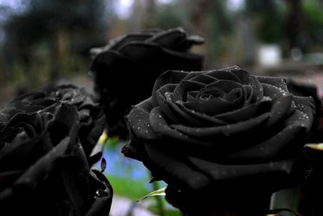 FASHION ROCKS - Black roses are the shit to me cause they are so... | Amazing Rare Photographs | Scoop.it