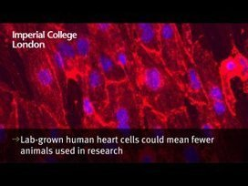 Lab-grown human heart cells could mean fewer animals used in research | National Centre for the 3Rs in the news | Scoop.it