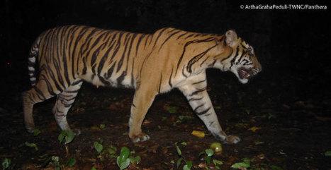 Tambling Wildlife Nature Conservation, Sumatra   GarryRogers Biosphere News   Scoop.it