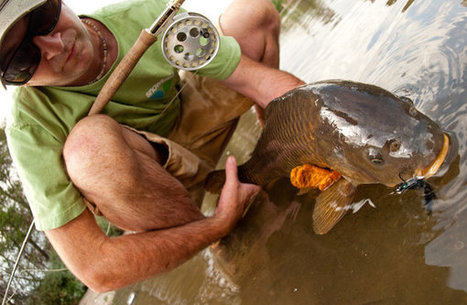 Carp Now a Worthy Fly Rod Target in United States | all you need to know about fishing | Scoop.it
