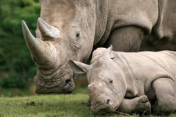 The Killing Of Rhino In South Africa Is Getting Ridiculous! | PharSide ... | What's Happening to Africa's Rhino? | Scoop.it