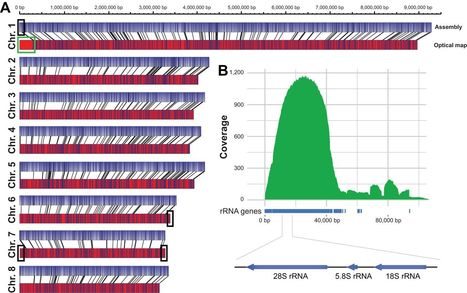 mBio: Single-Molecule Real-Time Sequencing Combined with Optical Mapping Yields Completely Finished Fungal Genome (2015) | Plant Pathogenomics | Scoop.it