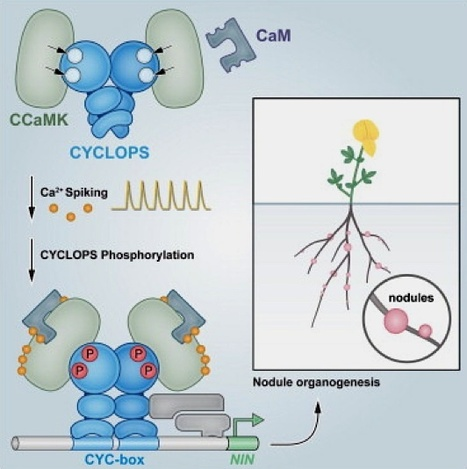 Cell Host & Microbe: CYCLOPS, A DNA-Binding Transcriptional Activator, Orchestrates Symbiotic Root Nodule Development (2014) | Symbiotic Nitrogen Fixation | Scoop.it