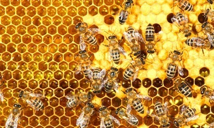 Scientists Discover Two Fatal Diseases Capable of Transmitting From Honey Bees to Bumblebees | EcoWatch | EcoWatch | Scoop.it