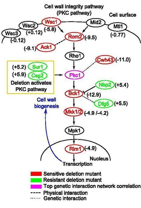 PNAS: Plant-derived antifungal agent poacic acid targets β-1,3-glucan (2015) | Plants and Microbes | Scoop.it