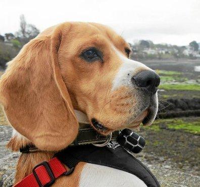"""Insolite. """"Jari, chasseur d'images à quatre pattes""""   Beagle   Scoop.it"""