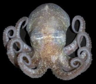 Antarctic octopuses 10,000km apart are genetically similar | Amazing Science | Scoop.it