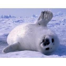 Baby Seals | Oceanic | Scoop.it